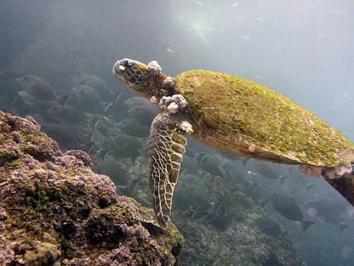 甲羅苔だらけのアオウミガメ
