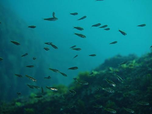 ちっこい魚がちょい群れで