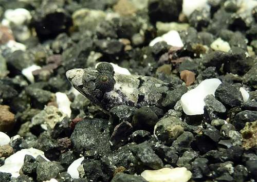 砂から顔出すトビギンポ