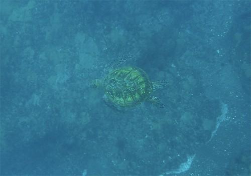 泳ぐウミガメじっくり見たり