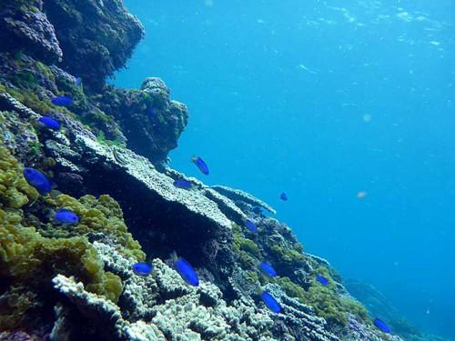サンゴの近くにソラスズメダイたくさん