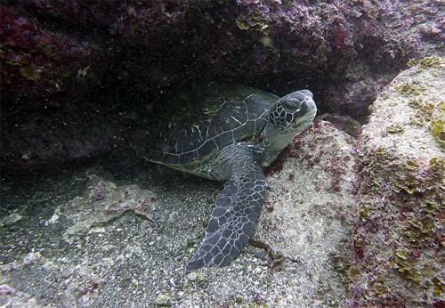 小こぶりのアオウミガメ