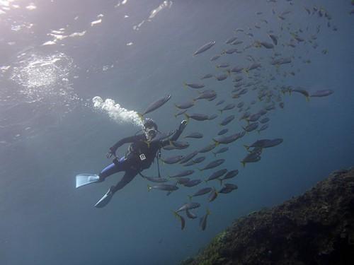 ムロアジの群れと一緒に泳ぎ