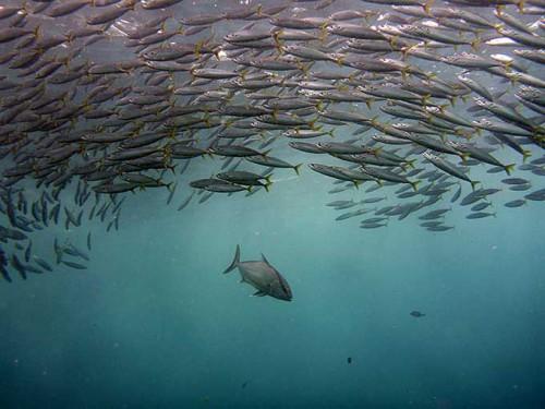 狙う魚はムロアジで