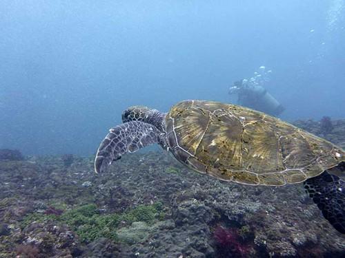 アオウミガメは泳ぎまくりで