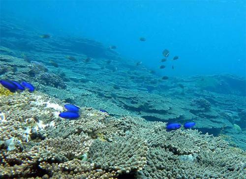 ソラスズメダイと広がるサンゴ
