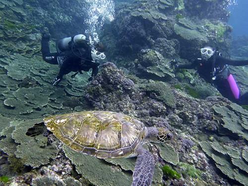 広がるサンゴとアオウミガメ
