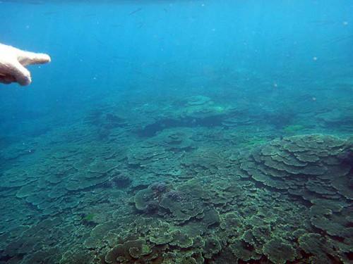 広がるサンゴはたくさんで