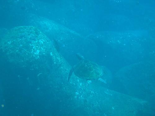 アオウミガメも見られたり