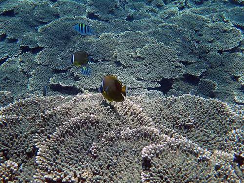 サンゴに集まる綺麗な魚