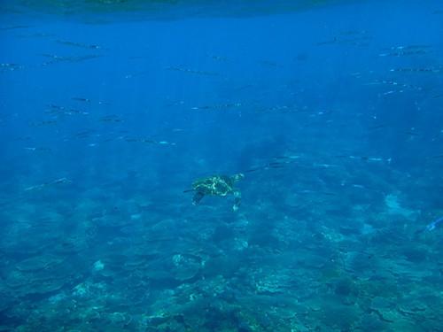 サンゴのとこにもカメがいて