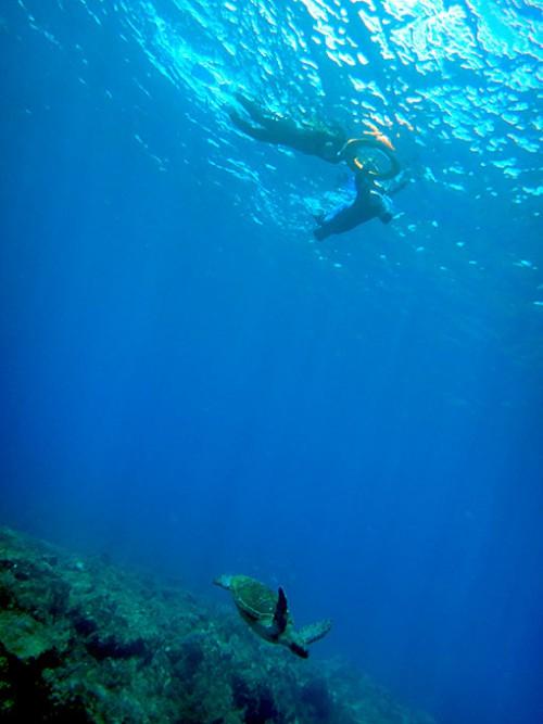 泳ぐウミガメたくさんいたり