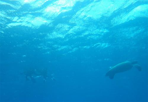 大きなカメが泳いでいたり