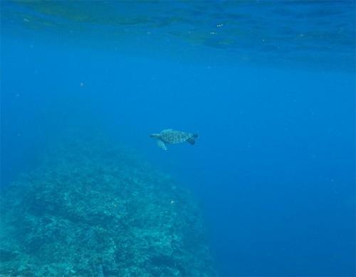 遠くで泳ぐウミガメいたり