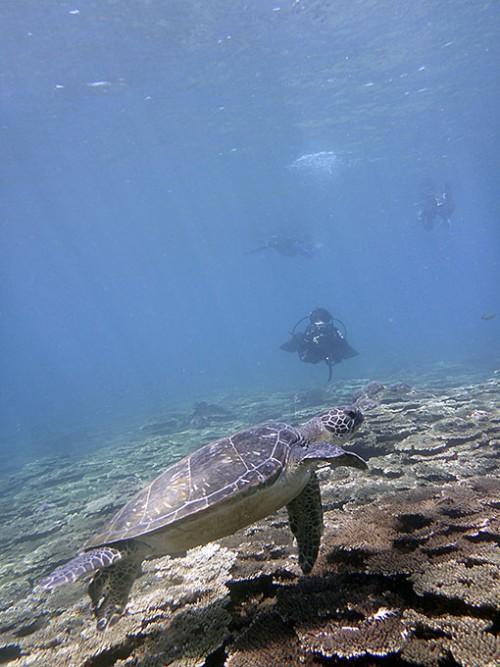サンゴの海でアオウミガメ