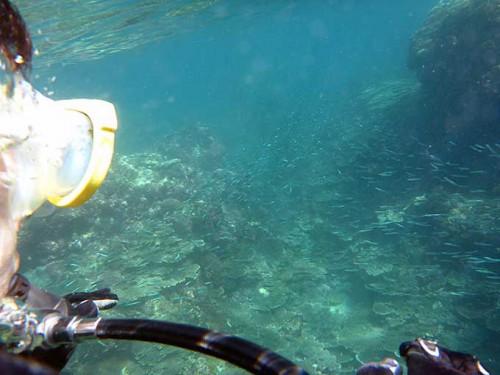 キビナゴと一緒に泳いでいって
