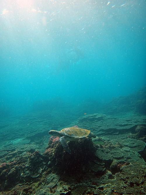 アオウミガメを遠くから