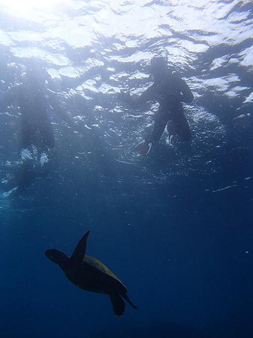 近くでウミガメ見て頂き