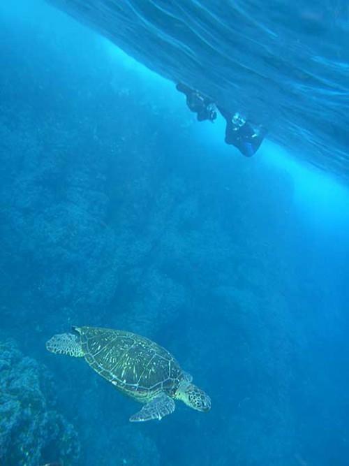 八重根でアオウミガメを見てみたり