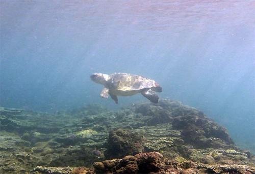 アカウミガメが一匹いたり