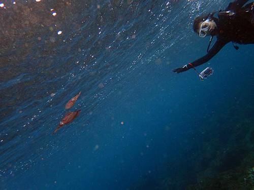 水面付近にはアオリイカの子ども