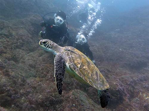 ウミガメの肩にのってるコバンザメ