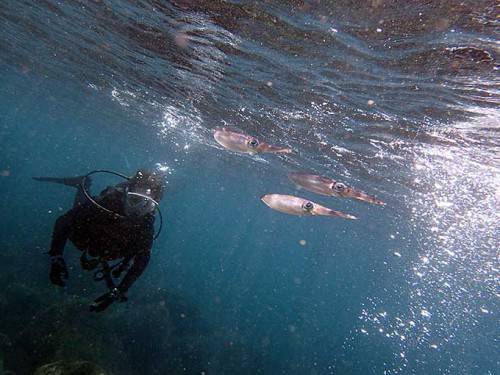 水面近くにアオリイカもおりまして