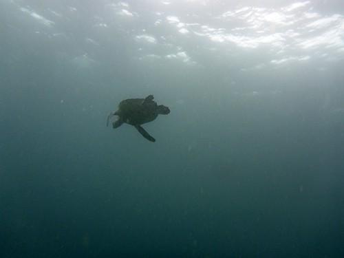 泳ぐアオウミガメも見られたり