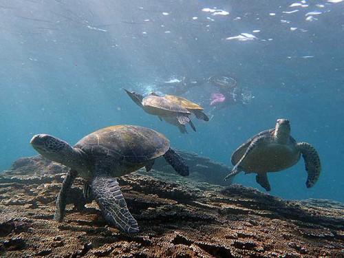 アオウミガメがワラワラ集まってて