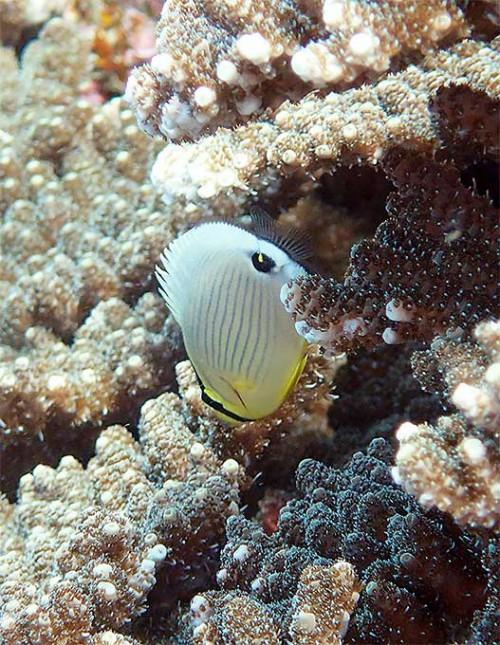 サンゴの隙間にミスジチョウチョウウオ
