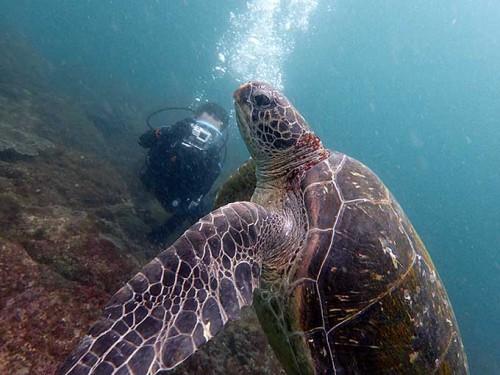 泳ぎ去ってく大きなアオウミガメ
