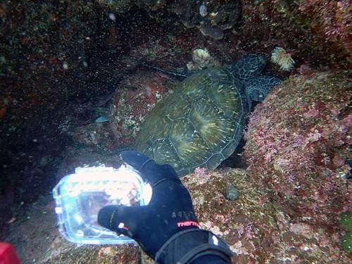 しっかり岩にハマって休むアオウミガメ
