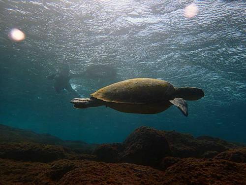 大きめのカメが浅場をゆっくり泳いでいたり