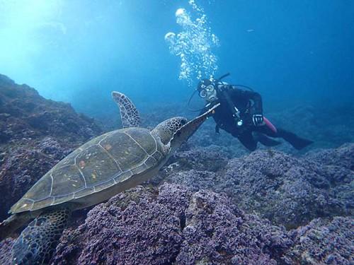 食べ物探して浅場に集まるアオウミガメを見てみたり