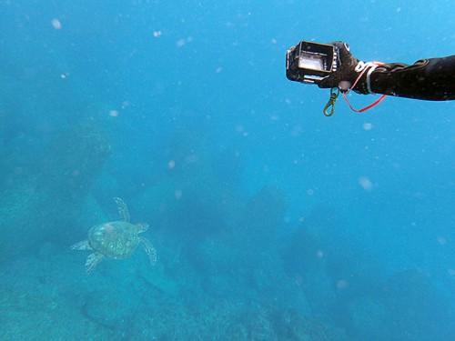 沖まで泳げばアオウミガメがたくさん見られ