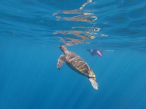呼吸の為に上がってきていたアオウミガメ