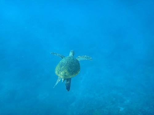 目の前ウミガメ泳いで行って