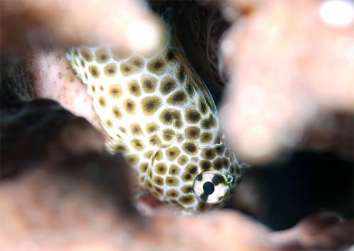 サンゴの間にセダカギンポ