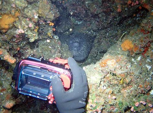 穴の中にはニセゴイシウツボ