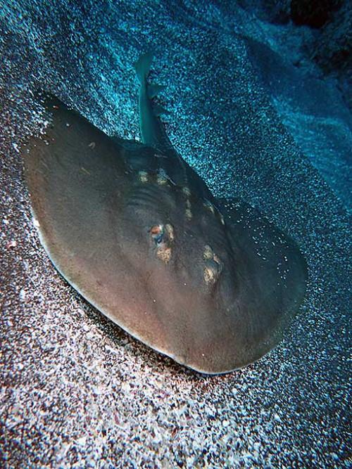 砂から出てきたウチワザメ