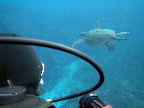 大きなカメは悠々泳ぎ
