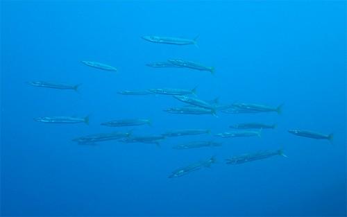 沖で集まるタイワンカマス