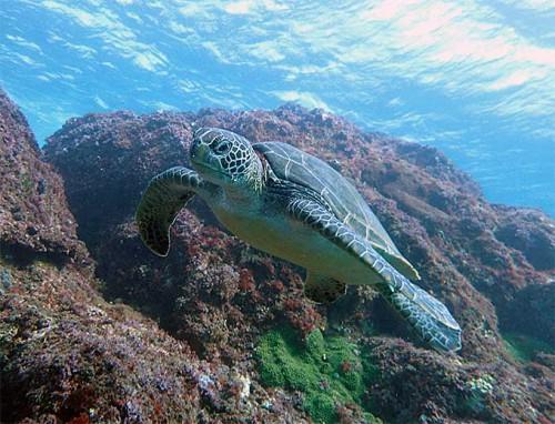 食事の合間にこっちを見に来たアオウミガメ