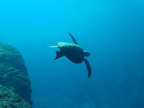 片ヒレかじられたような跡あるアオウミガメ