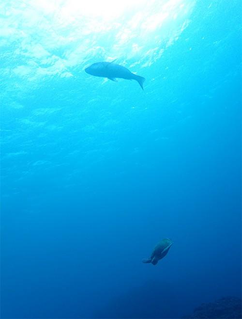 ハマフエフキとアオウミガメ