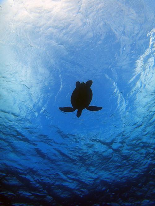 頭の上をアオウミガメが泳いでいって