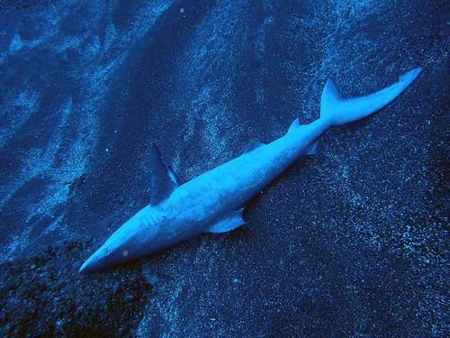 砂地にサメが転がっていて