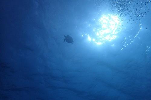 上の方をアオウミガメが泳いでいたり