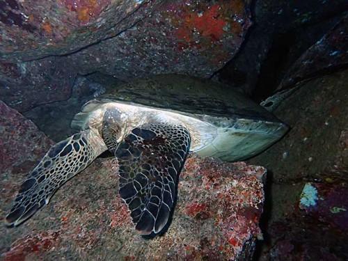 穴の中で休んでたアオウミガメ