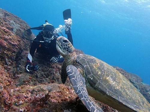海草ゴクンと飲み込んむアオウミガメ